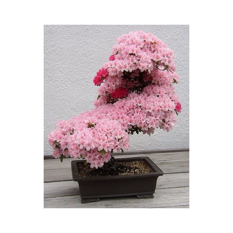 Japanese pink cherry blossom bonsai seeds bonsai tree seeds buy japanese pink cherry blossom bonsai seeds mightylinksfo